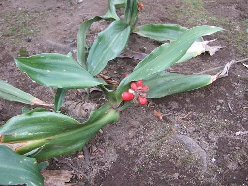 Rohdea japonica - rohdée du Japon - Page 3 Dscf1160
