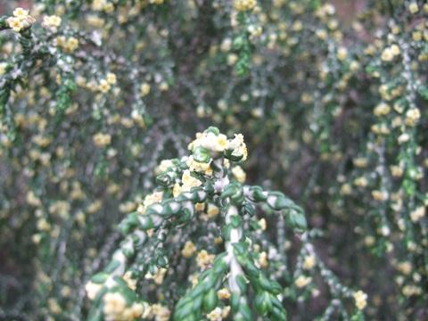 Thymelea hirsuta  Dscf1245