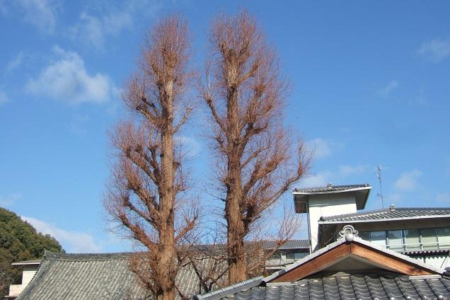 Ginkgo biloba - arbre aux quarante écus - Page 5 Dscf1317