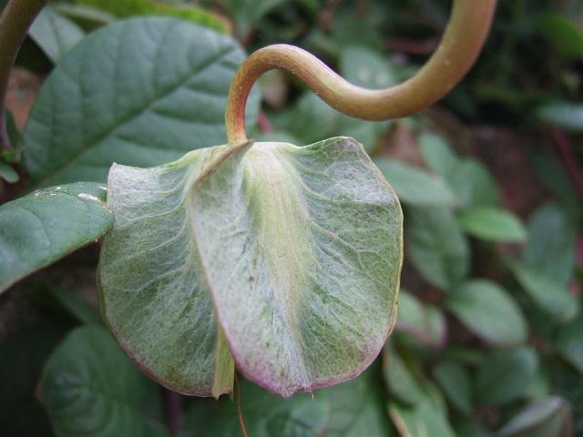 Cobaea scandens - cobée Dscf1368