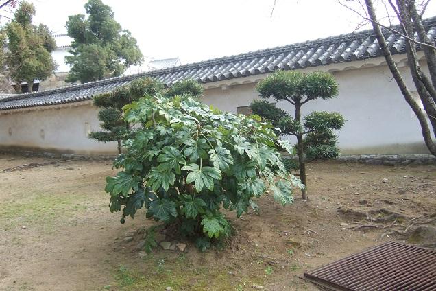 Fatsia japonica - fatsia du japon - Page 3 Dscf1412