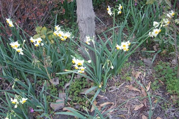 Narcissus tazetta et hybrides horticoles Dscf1512