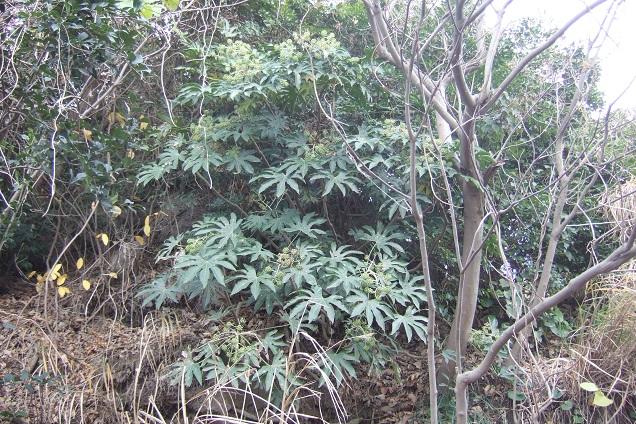 Fatsia japonica - fatsia du japon - Page 3 Dscf1518