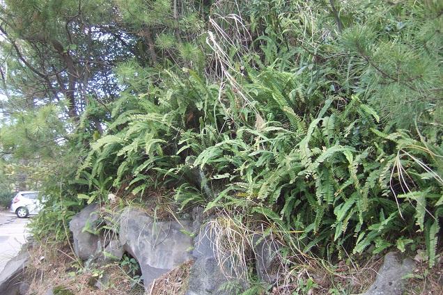 Nephrolepis cordifolia Dscf1522