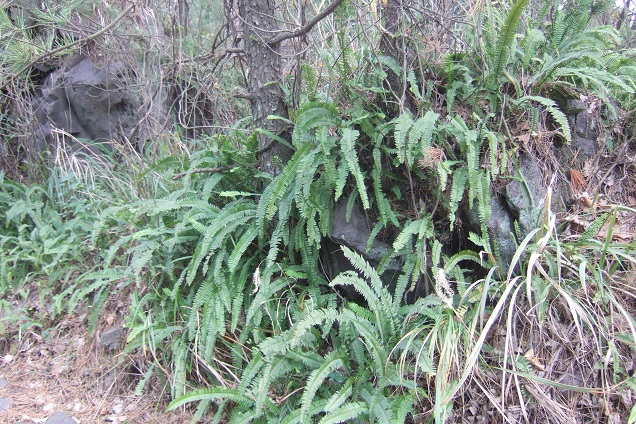 Nephrolepis cordifolia Dscf1523