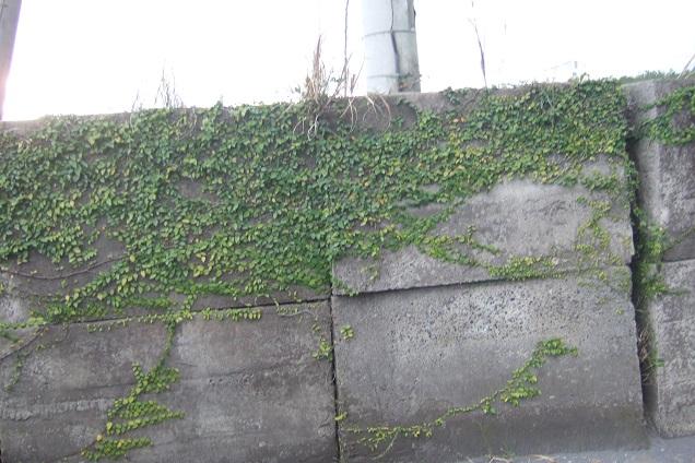 Ficus pumila - Page 5 Dscf1531