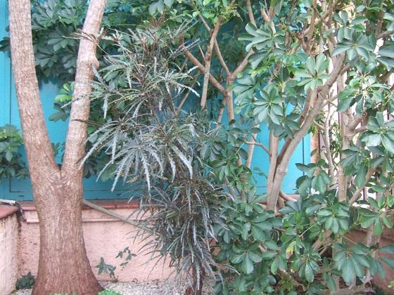 Plerandra elegantissima (= Schefflera elegantissima) Dscf1554