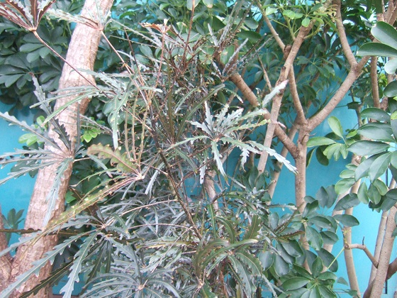 Plerandra elegantissima (= Schefflera elegantissima) Dscf1555