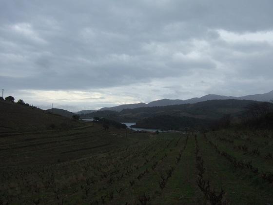 Vitis vinifera - vigne Dscf1557