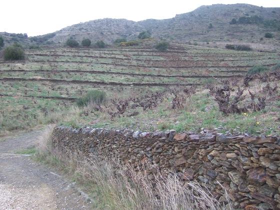 Vitis vinifera - vigne Dscf1558