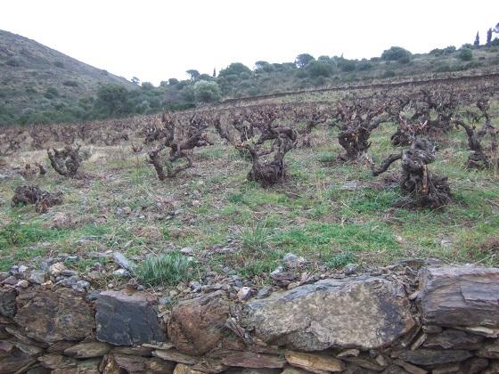 Vitis vinifera - vigne Dscf1559