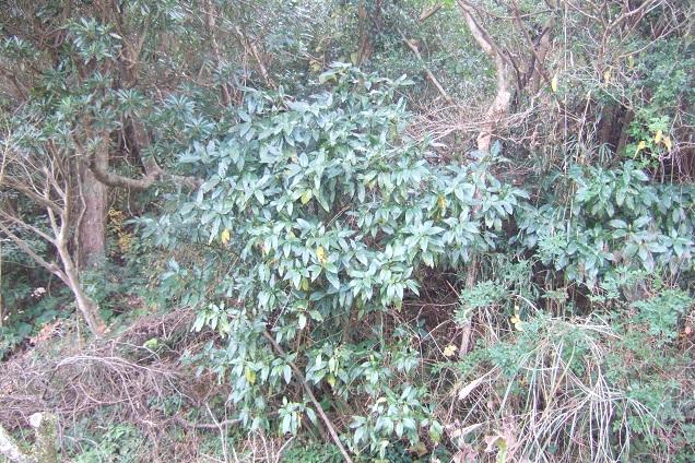 Aucuba japonica - aucuba du Japon - Page 2 Dscf1624