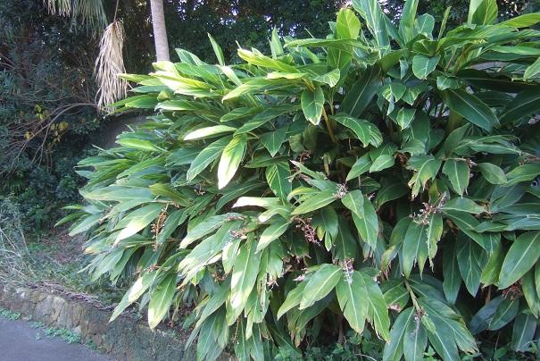 Alpinia zerumbet - Page 3 Dscf1637