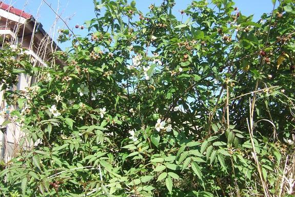 Rubus illecebrosus - framboisier fraise Dscf1653