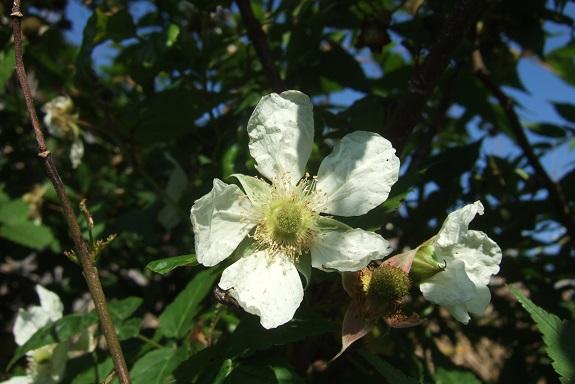 Rubus illecebrosus - framboisier fraise Dscf1655