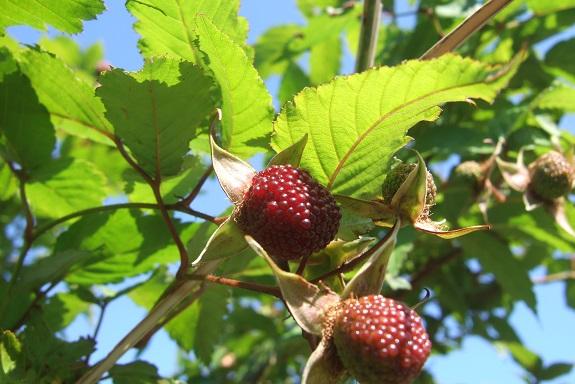 Rubus illecebrosus - framboisier fraise Dscf1656