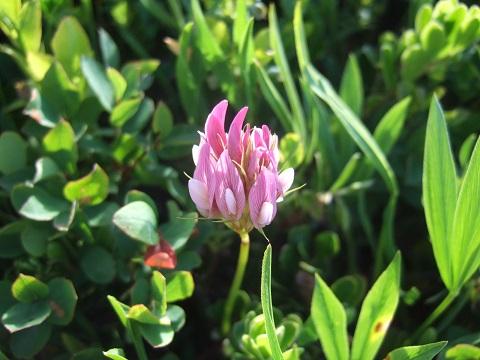 Trifolium alpinum - trèfle alpin Dscf1681