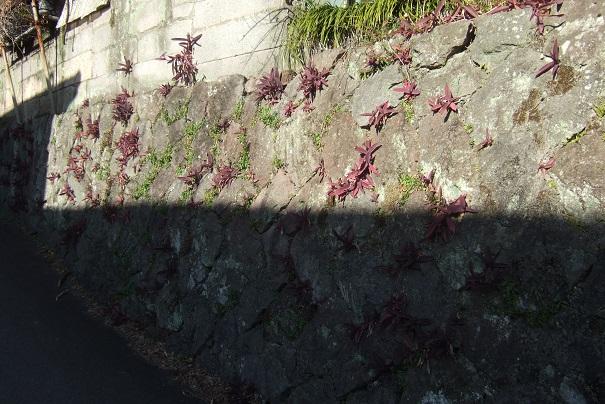Tradescantia pallida (= Setcreasea purpurea) - misère pourpre - Page 2 Dscf1718