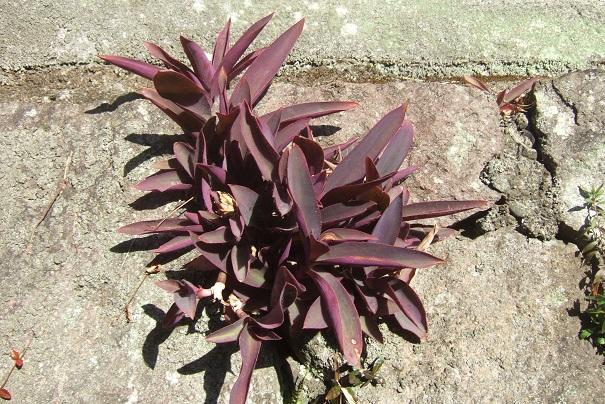 Tradescantia pallida (= Setcreasea purpurea) - misère pourpre - Page 2 Dscf1721