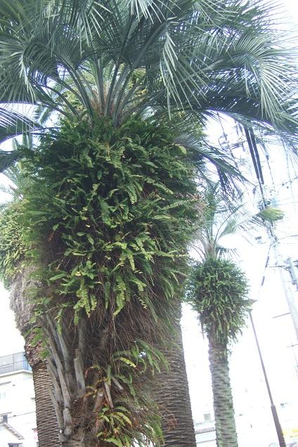 Nephrolepis cordifolia Dscf1730
