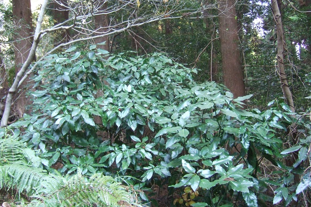 Aucuba japonica - aucuba du Japon - Page 2 Dscf1733