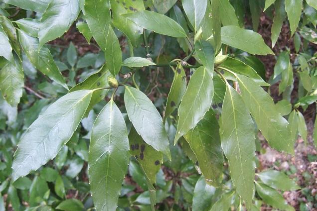 Aucuba japonica - aucuba du Japon - Page 2 Dscf1734