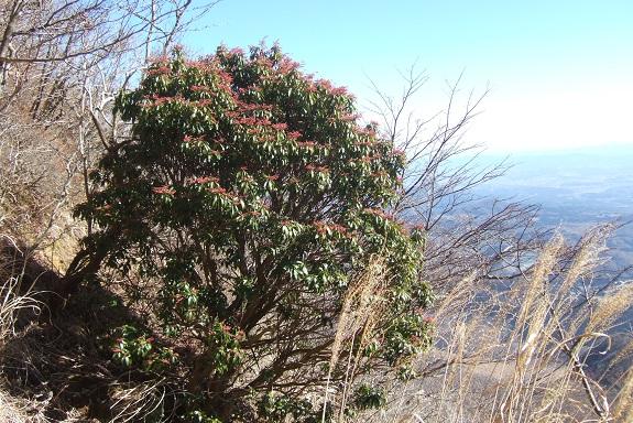 Pieris japonica - andromède du Japon Dscf1769