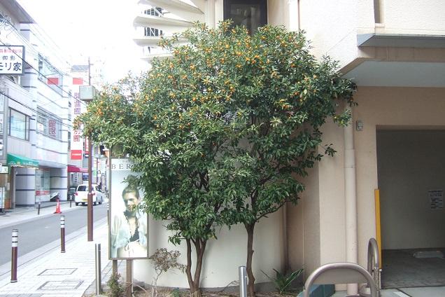 Citrus japonica - kumquat Dscf1813