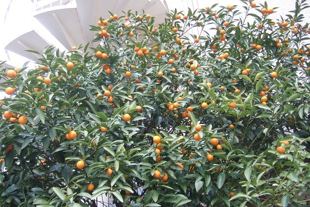 Citrus japonica - kumquat Dscf1814
