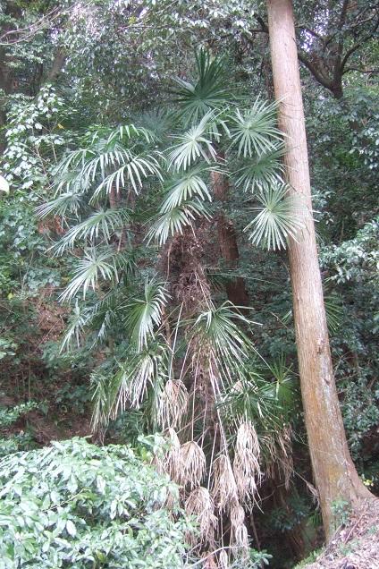 Trachycarpus fortunei - Page 9 Dscf1821