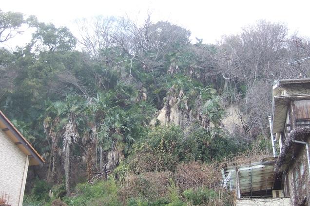 Trachycarpus fortunei - Page 9 Dscf1822