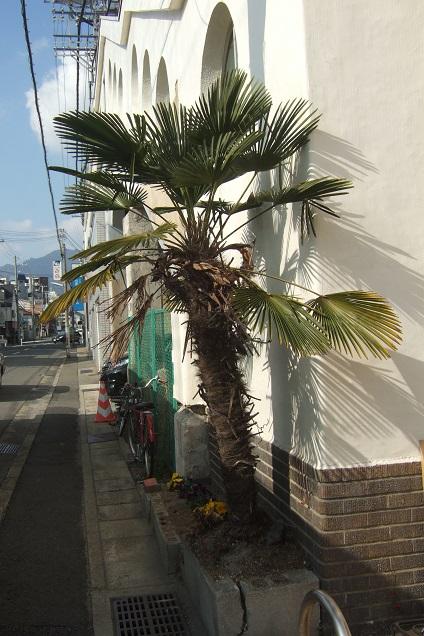 Trachycarpus fortunei 'Wagnerianus' Dscf1823