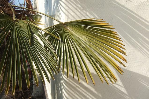 Trachycarpus fortunei 'Wagnerianus' Dscf1825