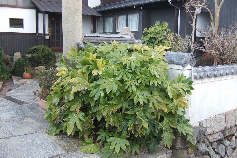 Fatsia japonica - fatsia du japon - Page 3 Dscf1826