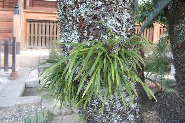 Lepisorus thunbergianus  Dscf1840