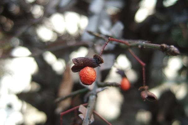 Euonymus alatus - fusain ailé Dscf1850