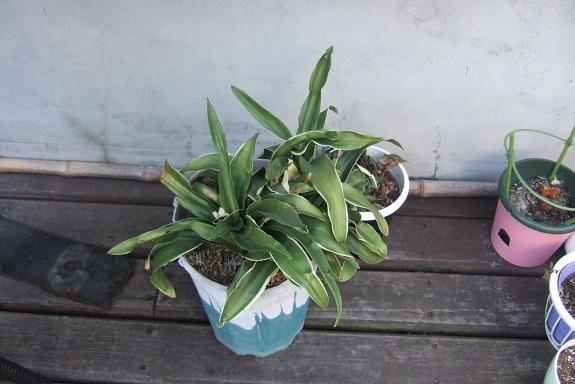 rohdea - Rohdea japonica - rohdée du Japon - Page 2 Dscf1851