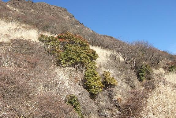 Pieris japonica - andromède du Japon Dscf1865