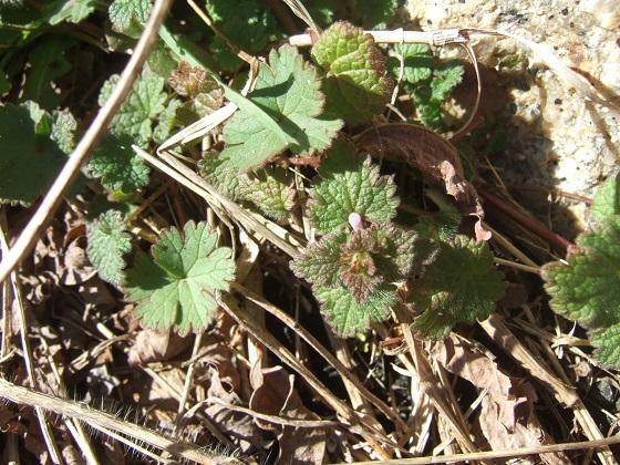 Lamium hybridum - lamier hybride Dscf1871