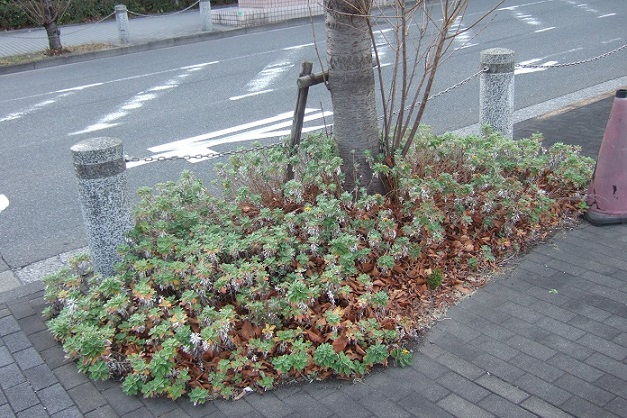 Ajania pacifica - chrysanthème du Pacifique Dscf1921