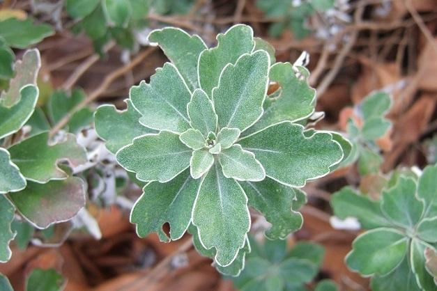 Ajania pacifica - chrysanthème du Pacifique Dscf1922