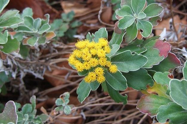 Ajania pacifica - chrysanthème du Pacifique Dscf1923