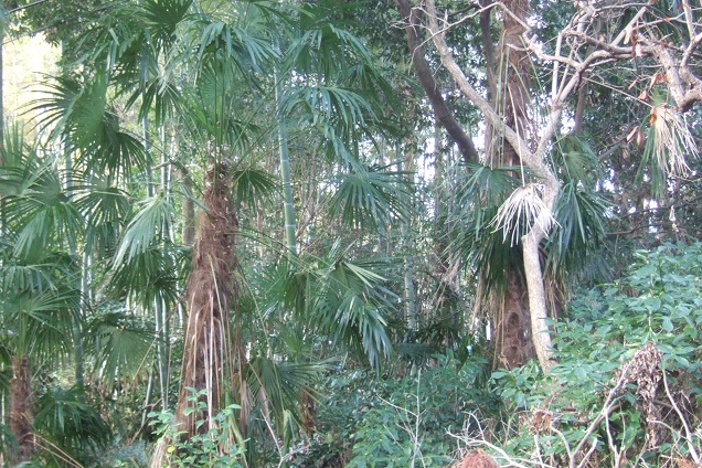 Trachycarpus fortunei - Page 9 Dscf1929