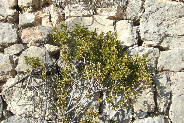 Rhamnus alaternus - nerprun alaterne Dscf1948