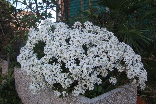 Iberis semperflorens - ibéris toujours fleuri Dscf2012