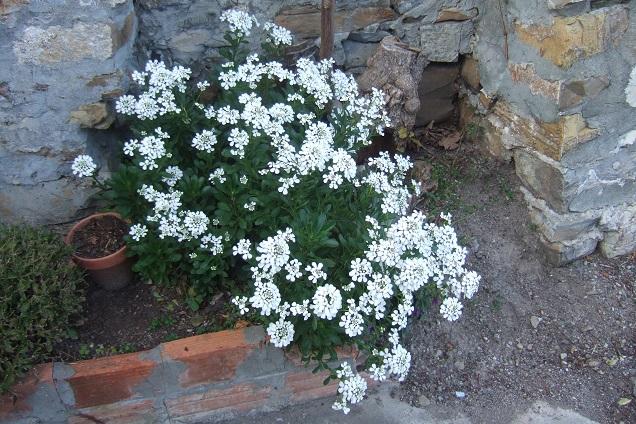 Iberis semperflorens - ibéris toujours fleuri Dscf2013