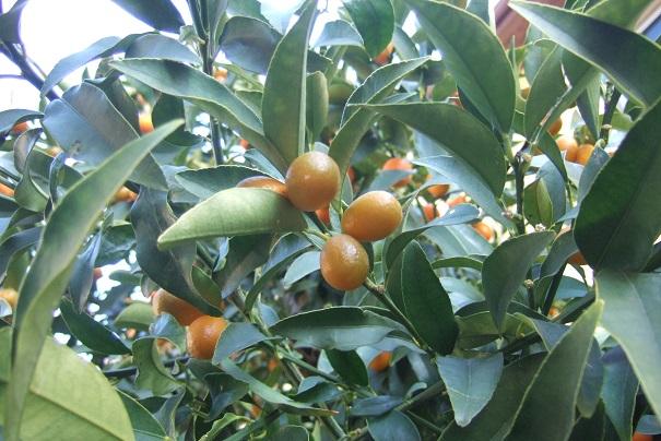 Citrus japonica - kumquat Dscf2025