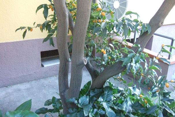 Citrus japonica - kumquat Dscf2026