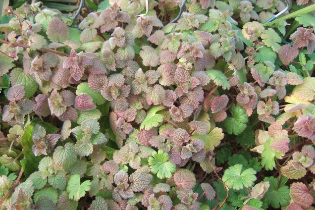 Lamium purpureum - lamier pourpre Dscf2114