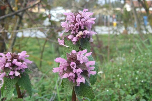 Lamium purpureum - lamier pourpre Dscf2116